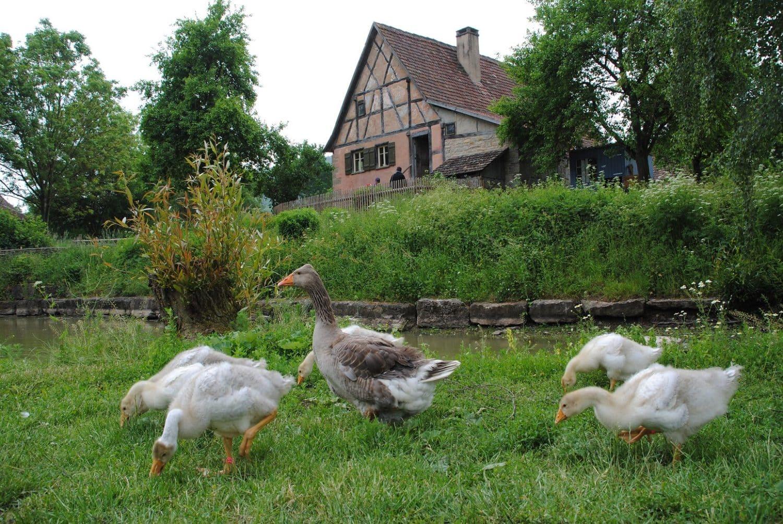 Landleven puur, oude boerengebouwn en ganzen