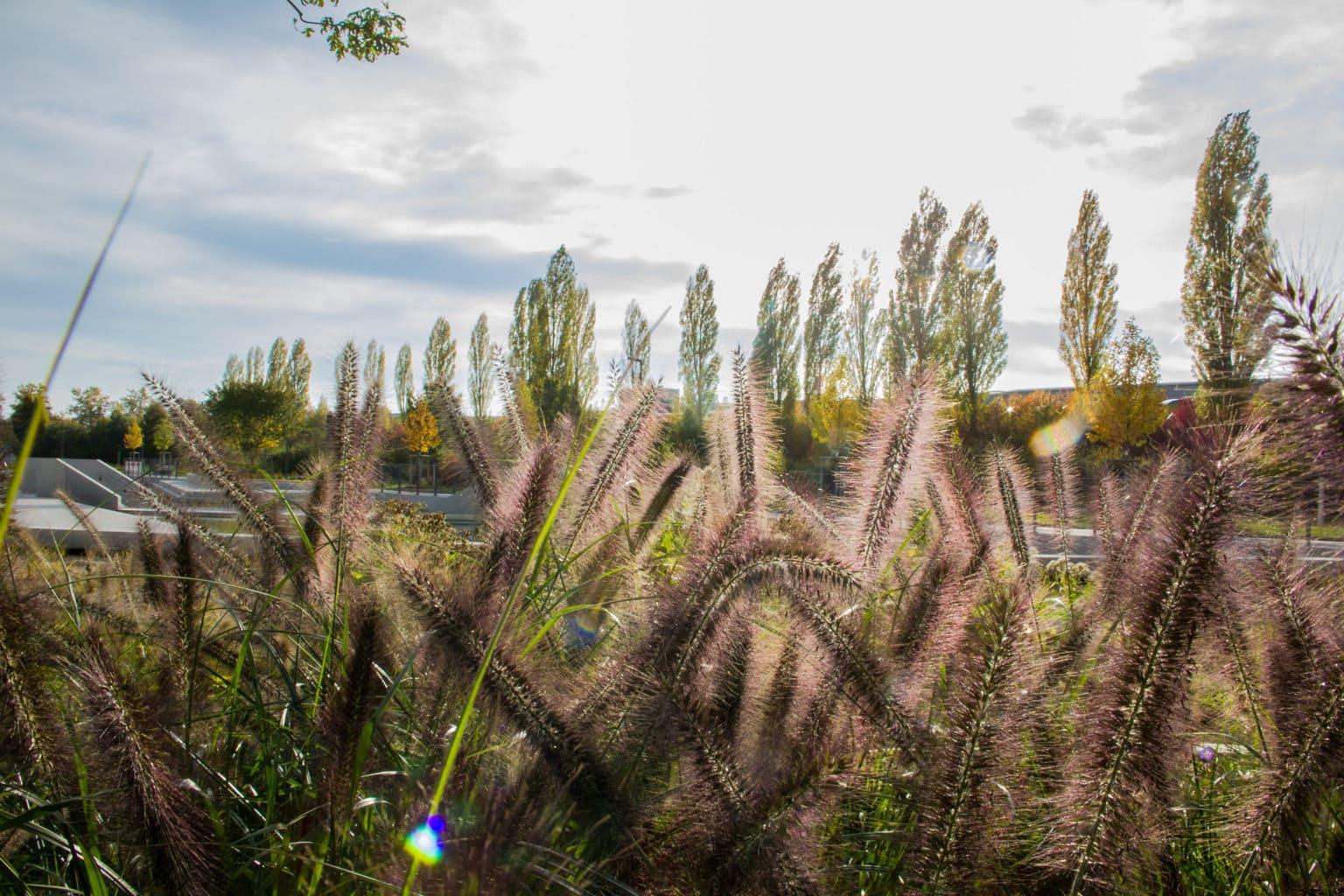 Pampasgrad in de buurt van Ingolstadt waar een van de tuinbouwtentoonstellingen in Duitsland plaatsvindt