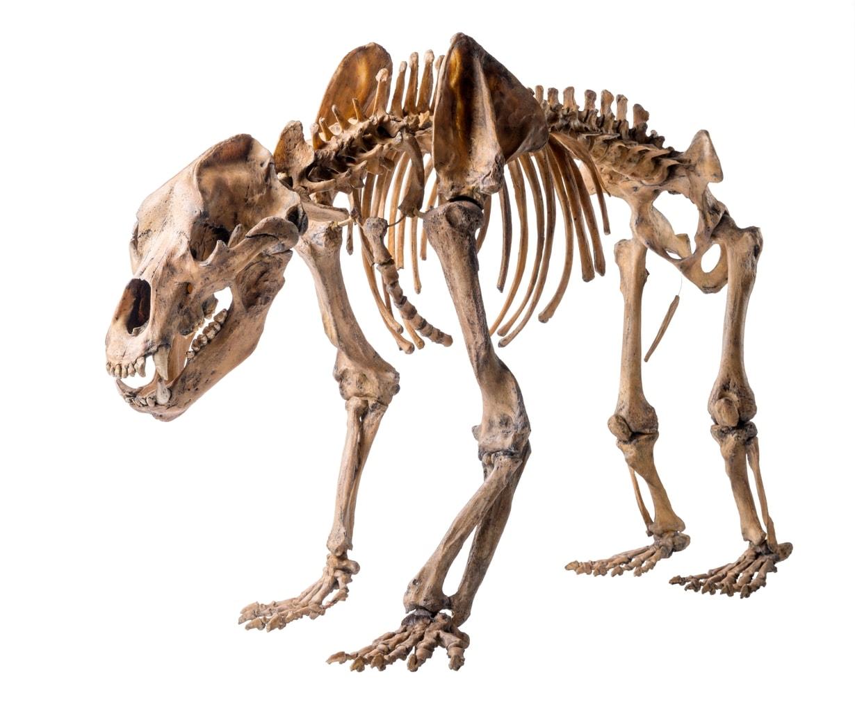 Skelet van een holenbeer in Museum REM in Mannheim