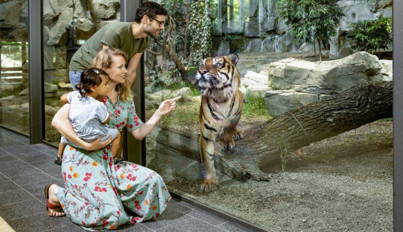 Een Sumatra-tijger in de Tierpark van Berlijn