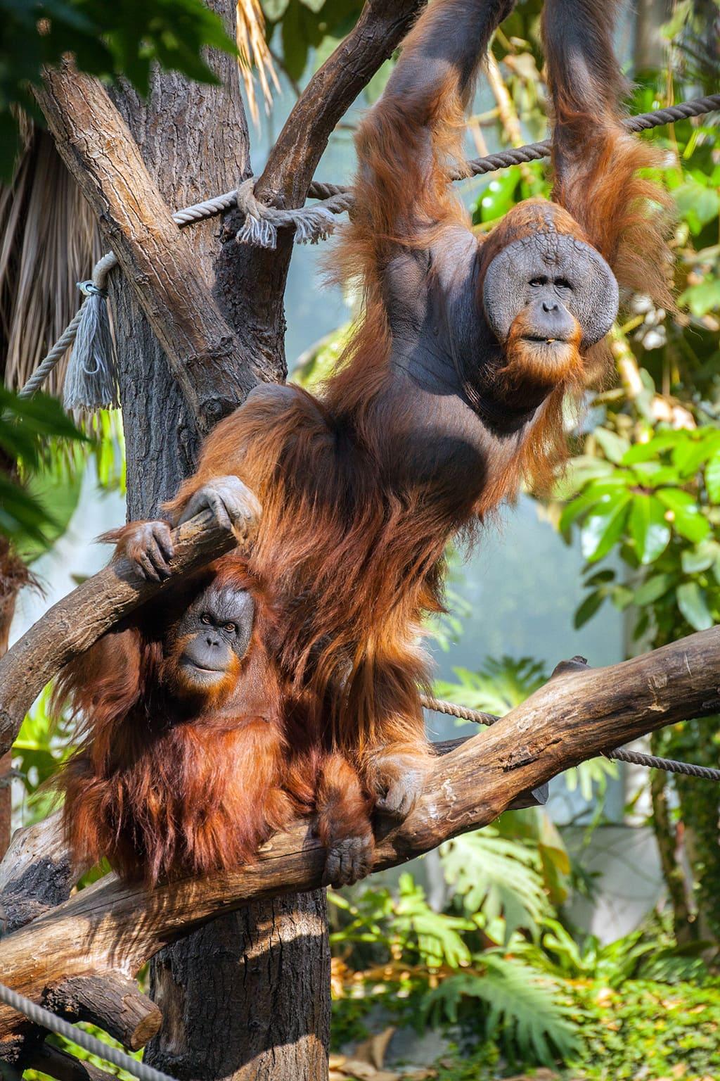 Orang utans in de dierentuin van Hamburg doen net zoals ze vrienden zijn