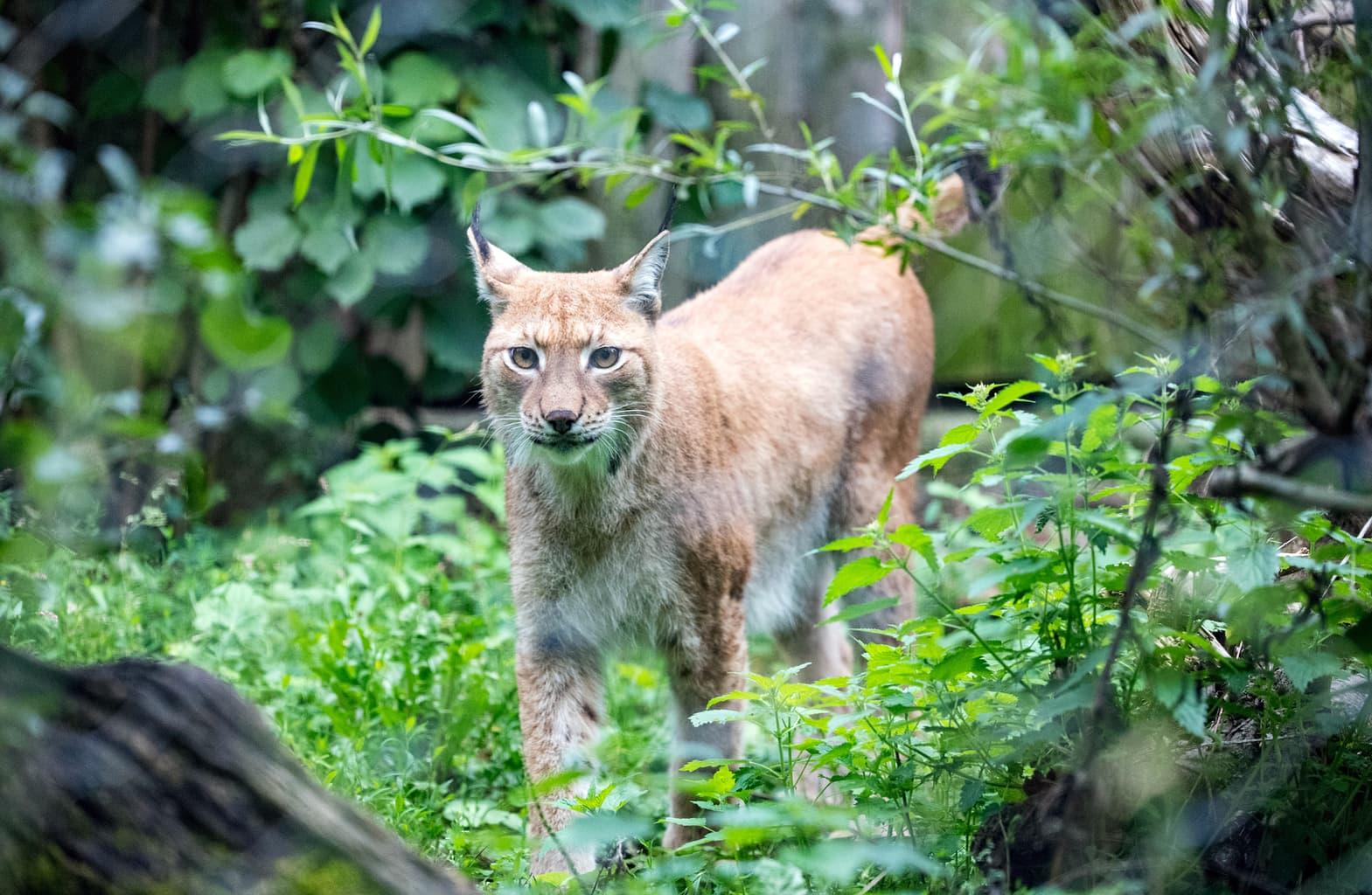 Een lux in de dierentuin van München is echter geen gevaarlijk dier.