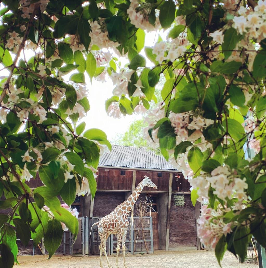 Een giraffe vermaakt zich in de zoo van Keulen