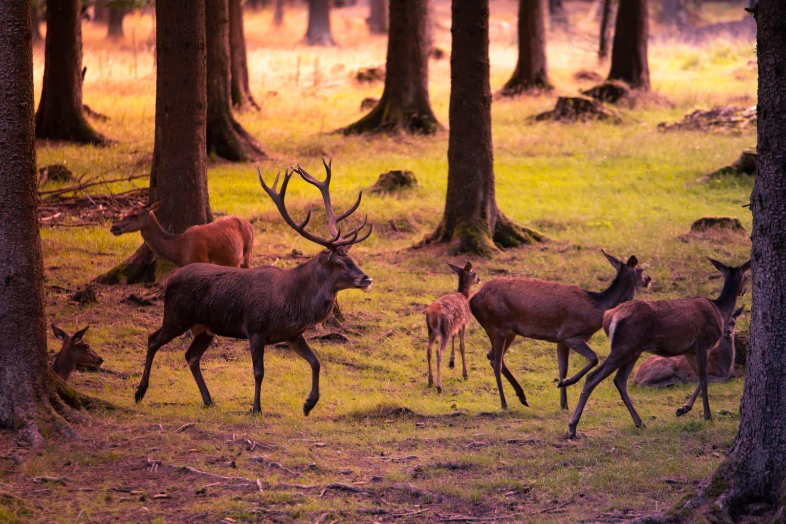 Herten in een bos in Nederbeieren