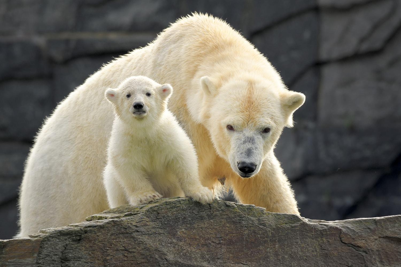 Een ijsbeer moeder met haar kindje in de ddierentuin van Berlijn