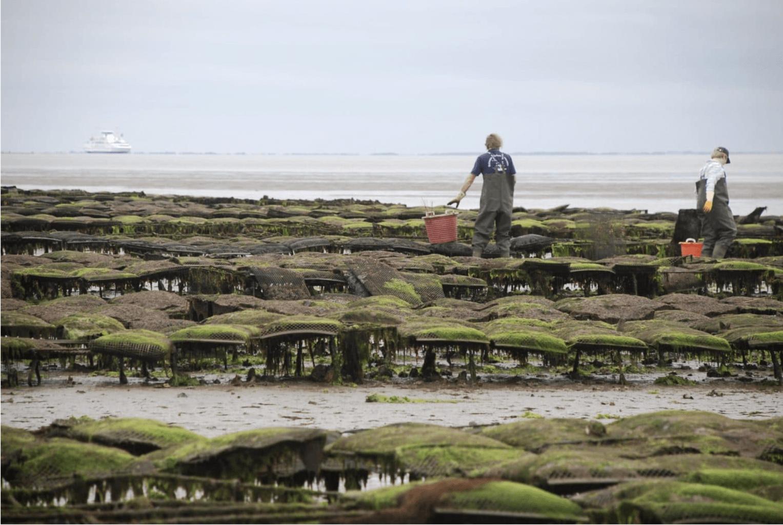 Oesters worden op het Duitse eiland Sylt al sinds 1996 geteeld