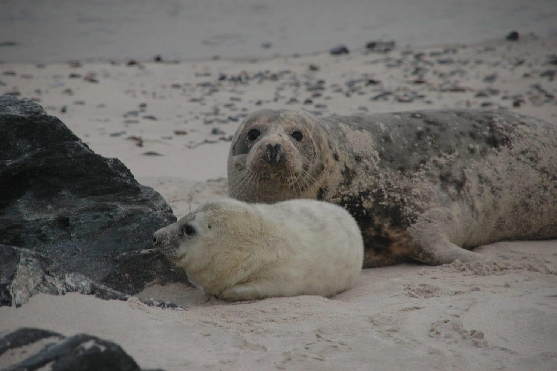 Puppies van kegelrobben op Helgoland zijn weer gebruikelijk geworden