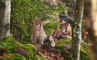 Wilde katten op een rots in een Duits bos