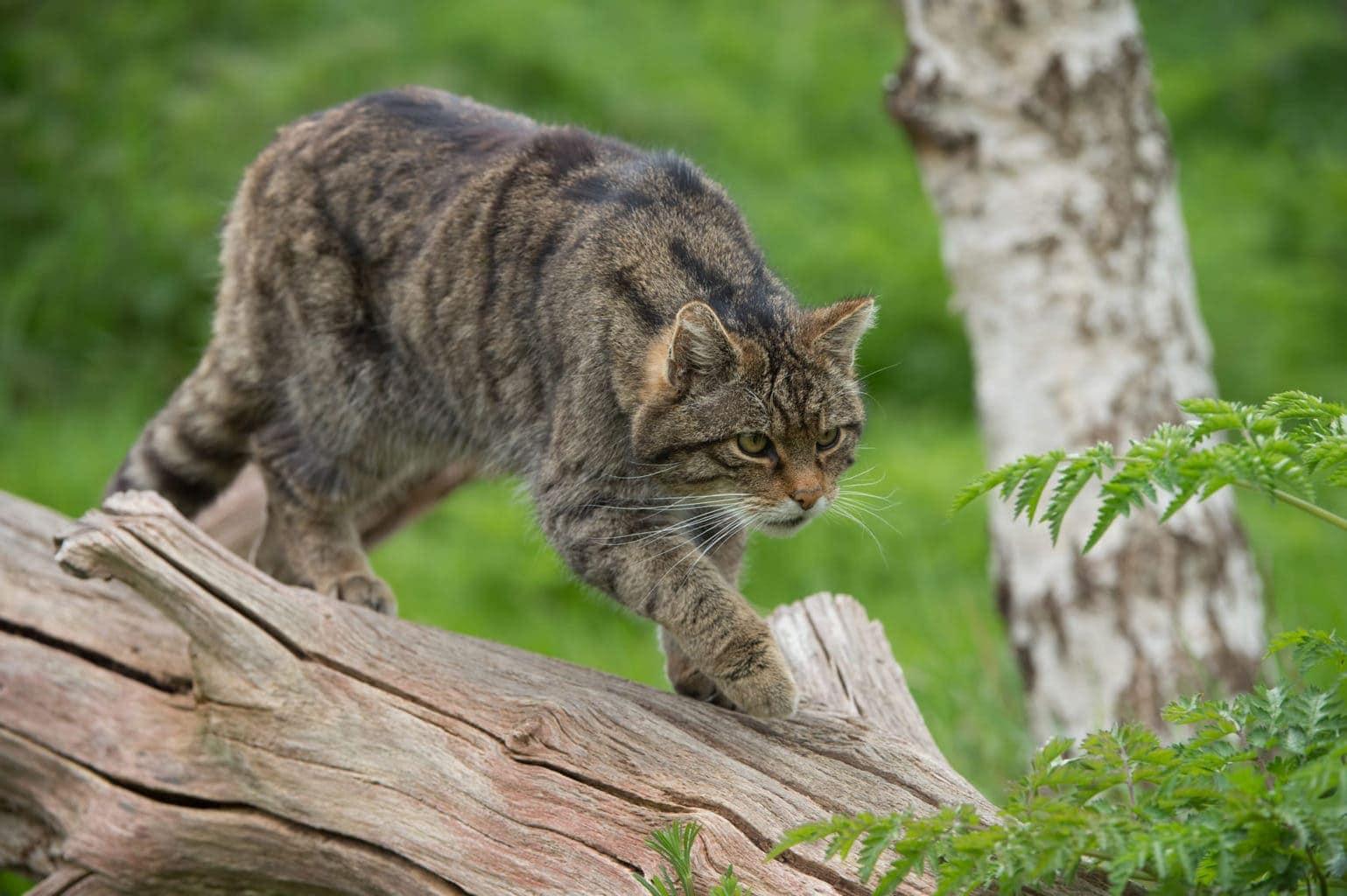Een wilde kat in Nationaal Park Hainich in Dutisland
