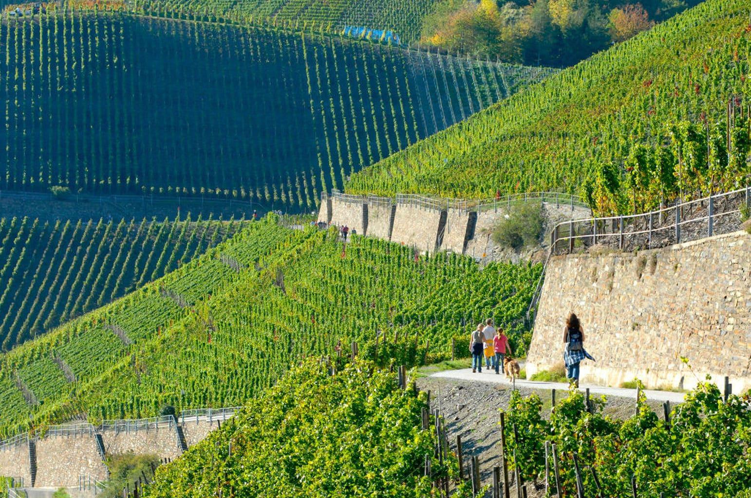 Wandelpad in de wijnbergen van de Ahr met wijnstokken
