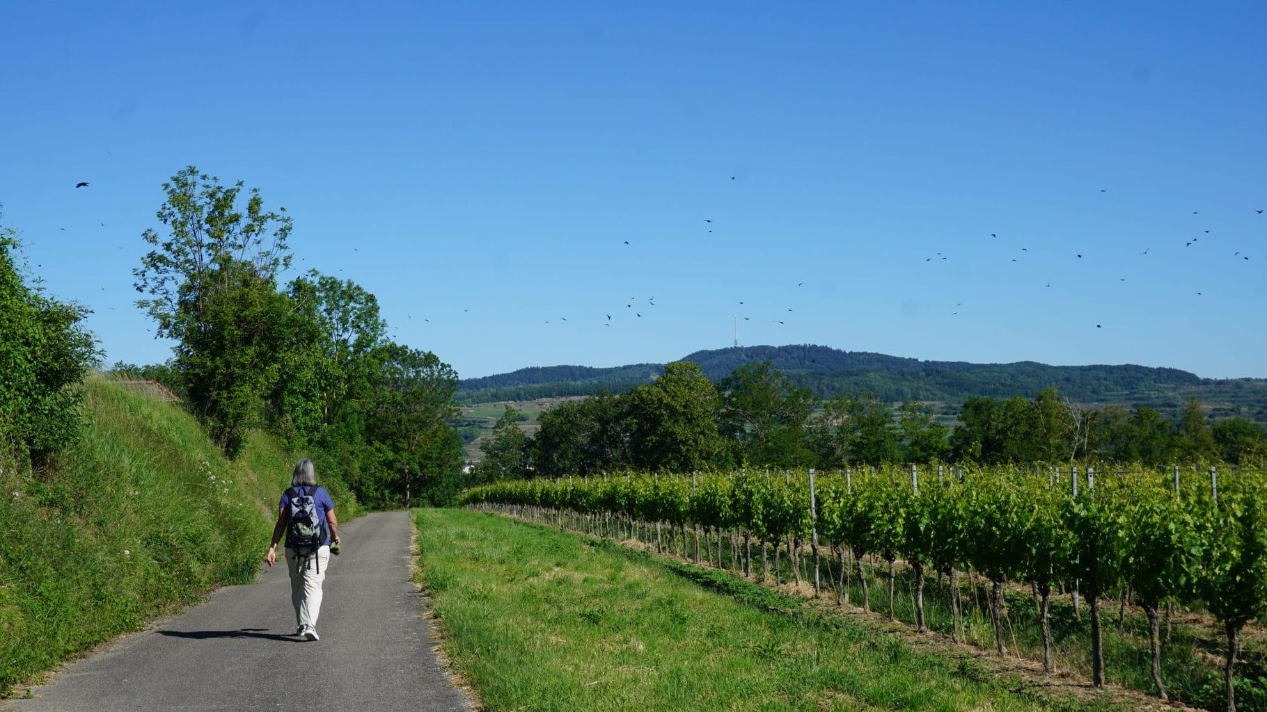 In de wijngaarden rondom natuurtuin Kaiserstuhl kun je heerlijk wandelen