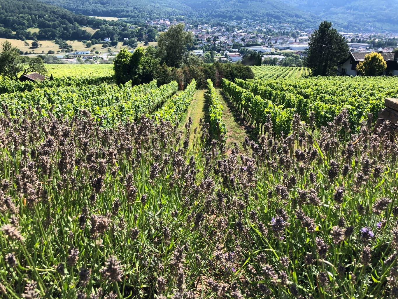 De Centgrafenberg in Bürgstadt is een van de beste en beroemdste wijnbergen voor Spätburgunder in Duitsland - vooral als het gaat om de wijnen van wijngoed Rudolf Fürst