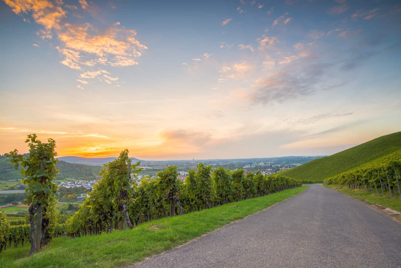 Duitse Wijnroute in de zonsondergang met wijnstokken
