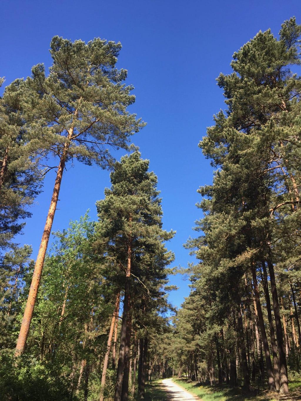 Op weg naar de langste helling van de dag kom je tal van dennebomen tegen