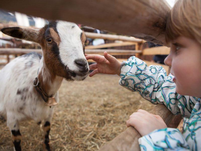 Een kind aait een geit in Saksen-Anhalt