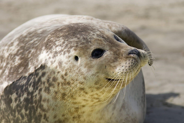 Een zeehond op een zandbank in het nationaalpark waddenzee