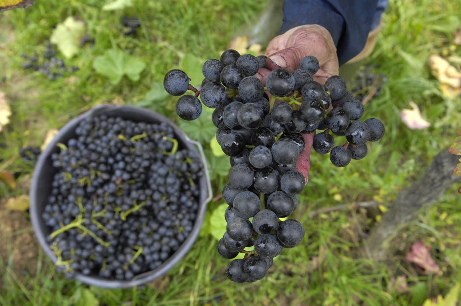 Rijpe rode druiven in Maikammer in de Palts