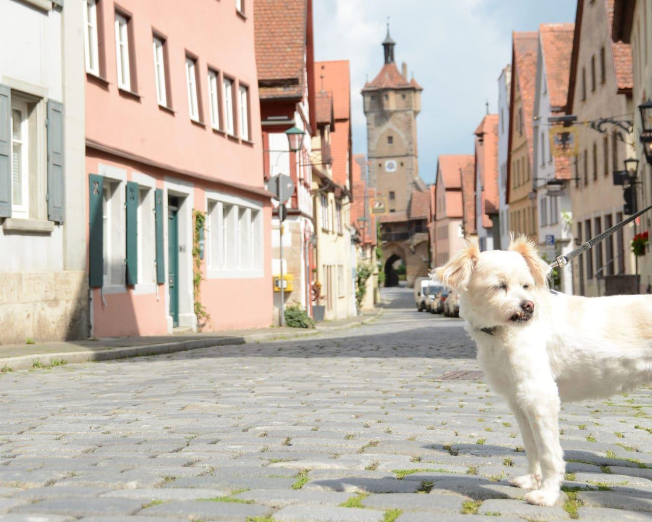 Een hond op de kasseien in Rothenburg ob der Tauber met een stadspoort op de achtergrond