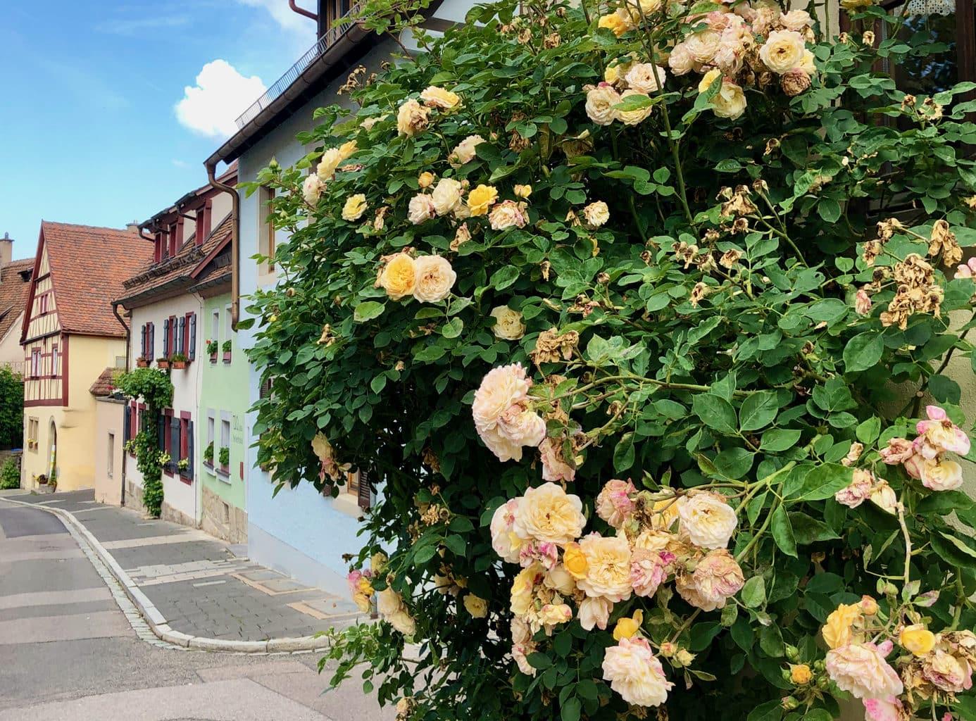 Rozen zijn er overal te zien on Rothenburg ob der Tauber
