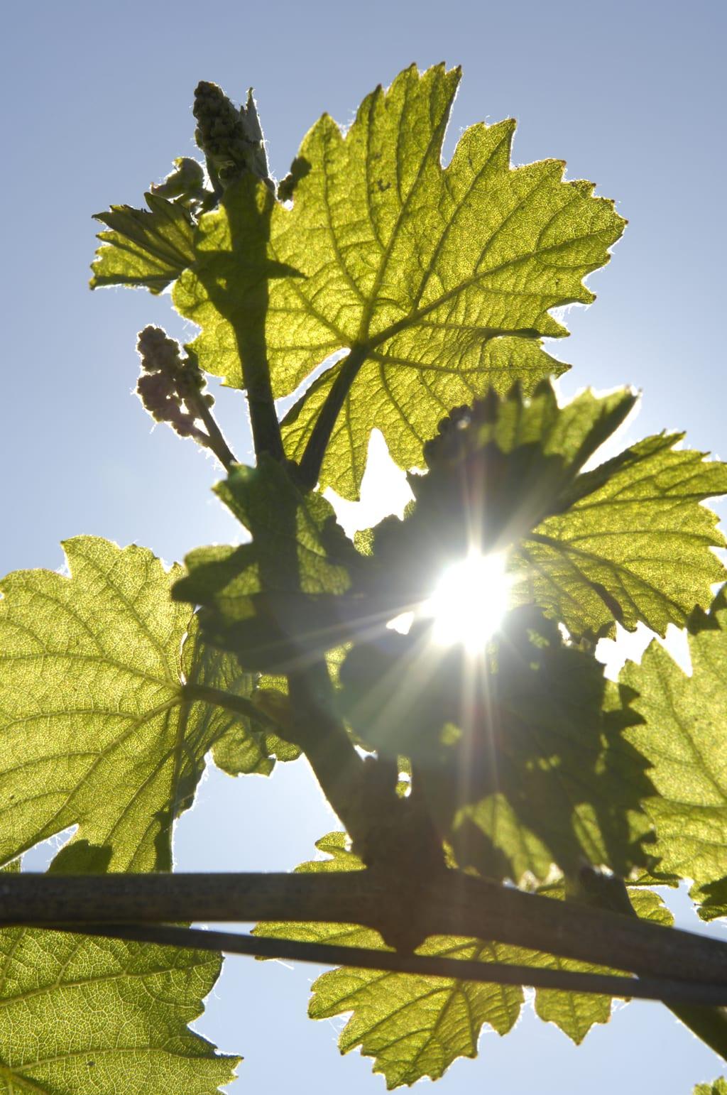 Wijnbladeren met de zon ergens in de Südliche Weinstraße, een mooi gebied in de Palts