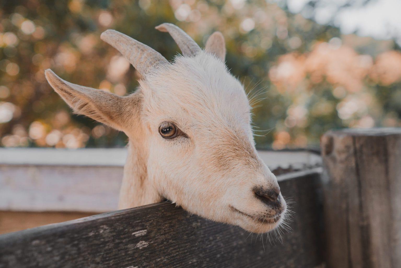 Het hoofd van een witte geit in Saksen-Anhalt