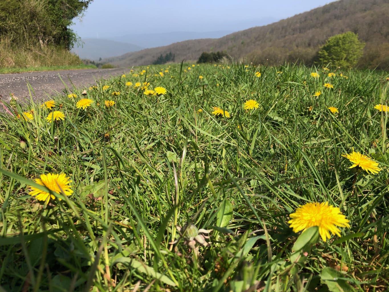 Paardebloemen op een grasveld met op de achtergrond de Kermeter en het nationaalpark Eifel