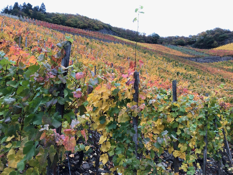 De wijnbergen in de buurt van Dernau in Rijnland-Palts zijn op dramatische manier ingekleurd