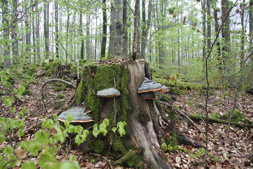 Bomen met paddestoelen in het bos van Beieren