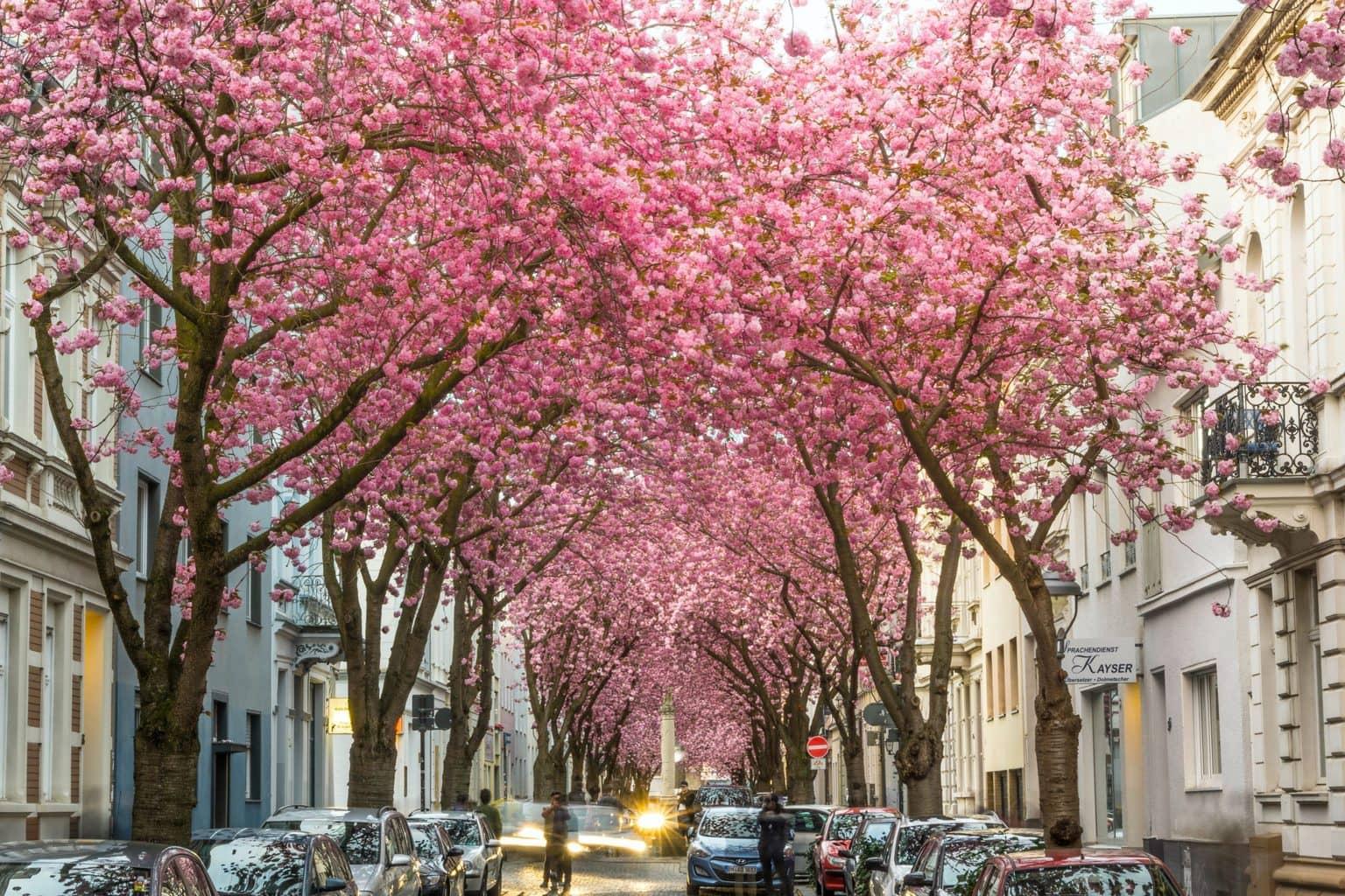 Kersenbomen bloeien in de oude stad van Bonn