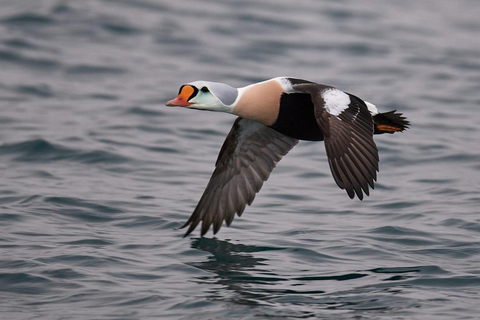Een eider vogel ganz aan de Duitse Noordzeekust vliegt vlak boven het water