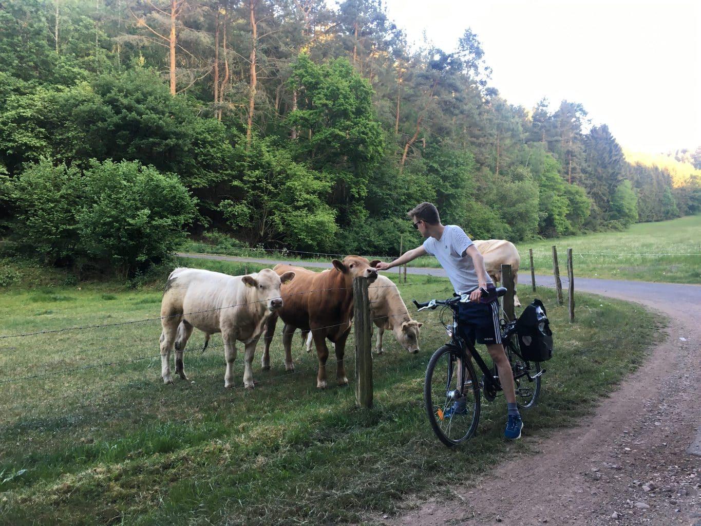 Fietsers in de Eifel met koeien