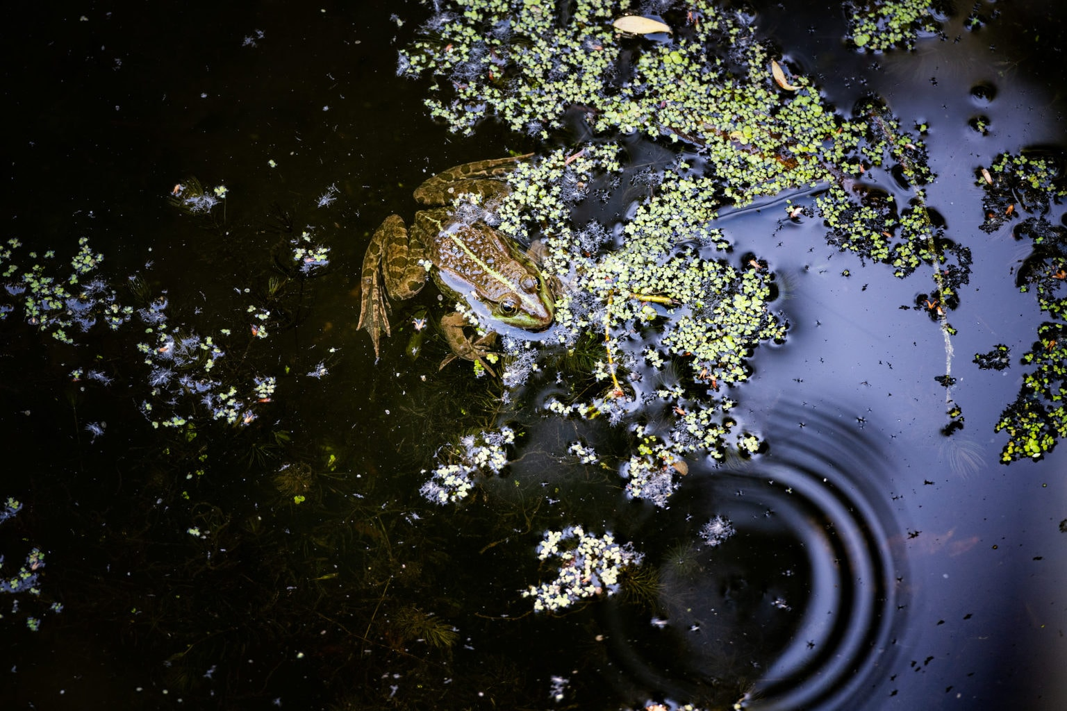 Een kikker lekker op z'n gemak in de Tegeler Fließ in Berlijn