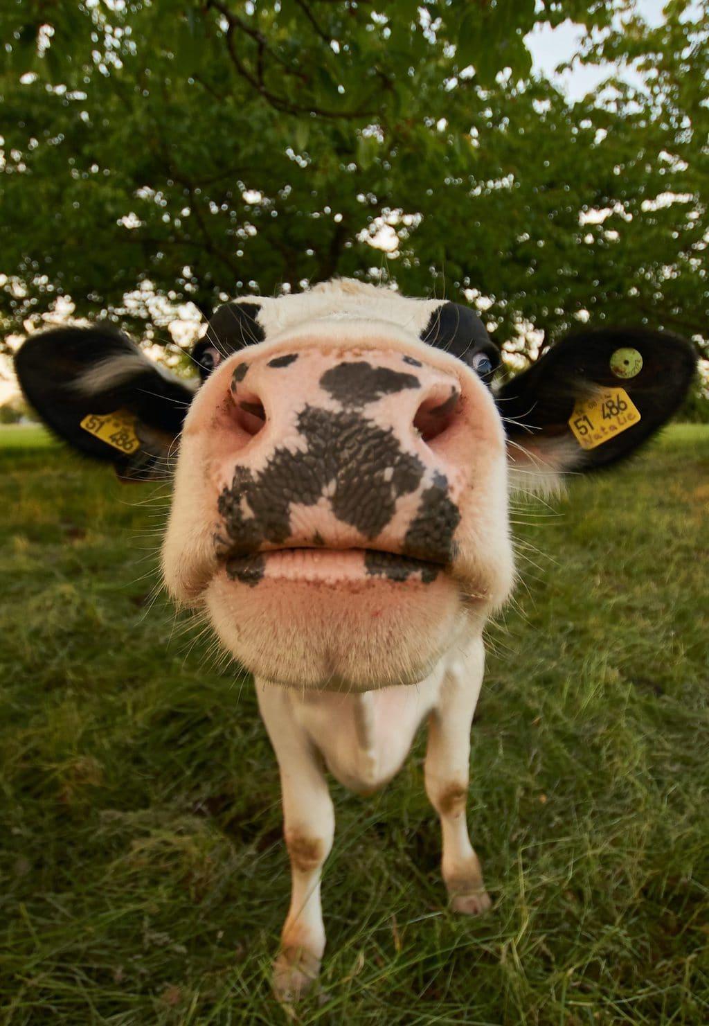 Een koe op een grasveld tijdens een wandeling