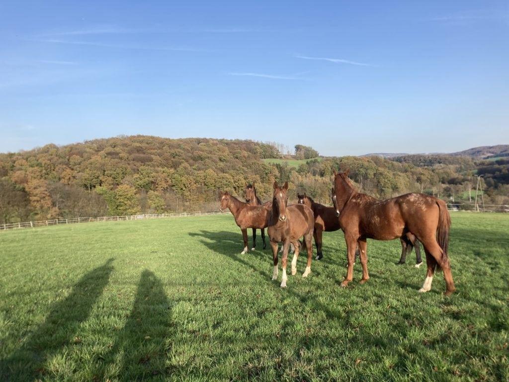 Paarden en schaduwen op een weiland in de buurt van Keulen