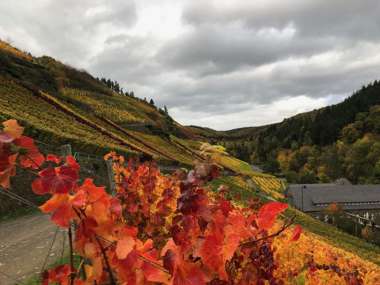 Rode wijnbladeren aan det rodewijnwandelpad in het Ahrdal in Rijnland-Patls