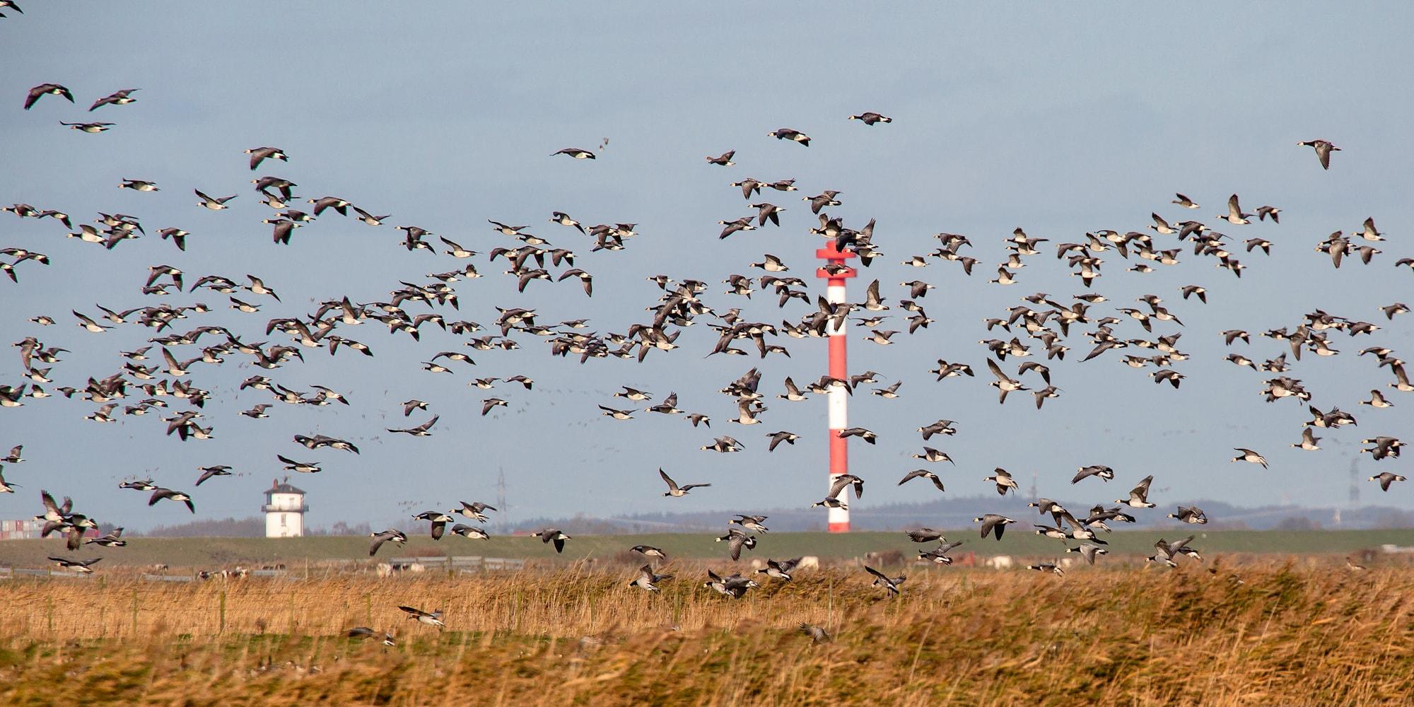 Trekvogels in de buurt van Cuxhaven
