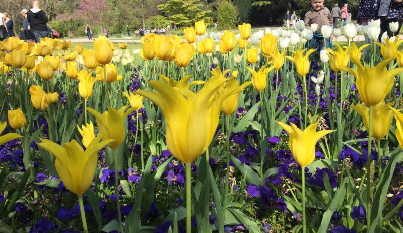 Tulpenbed in de Flora in Keulen is een van de mooiste tuinen van Duitsland
