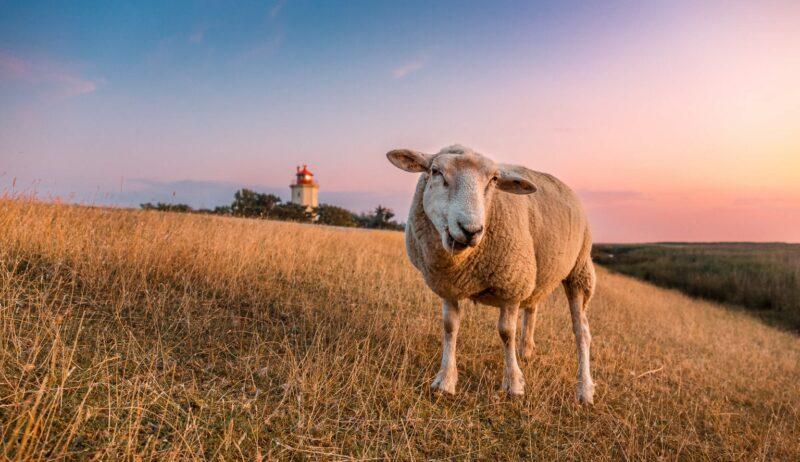 Een schaap op een dijk op het eilandFehmarn met daarachter een vuurtoren