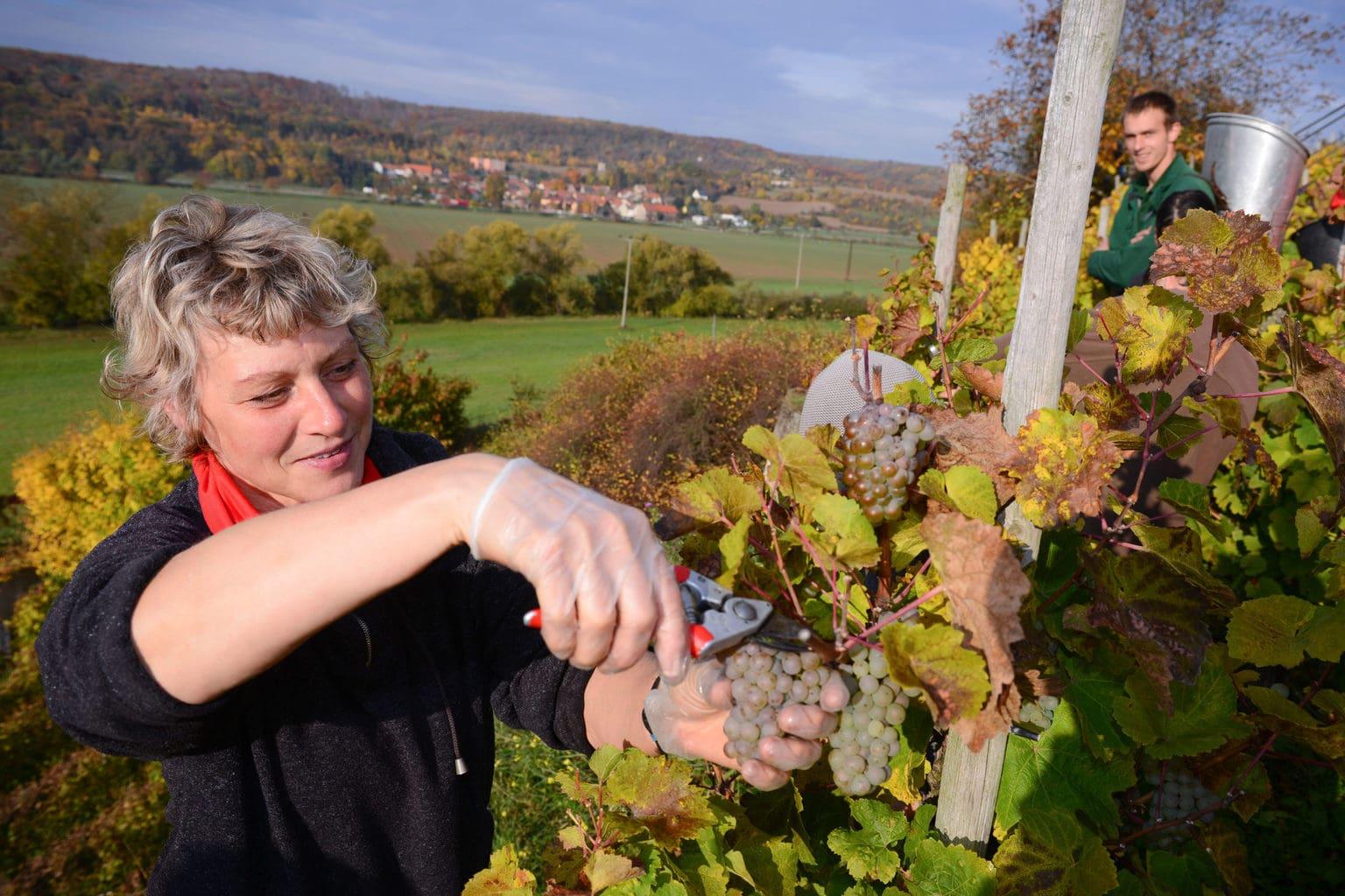 Vrouw tijdens de wijnoogst in de regio Saale-Unstrut