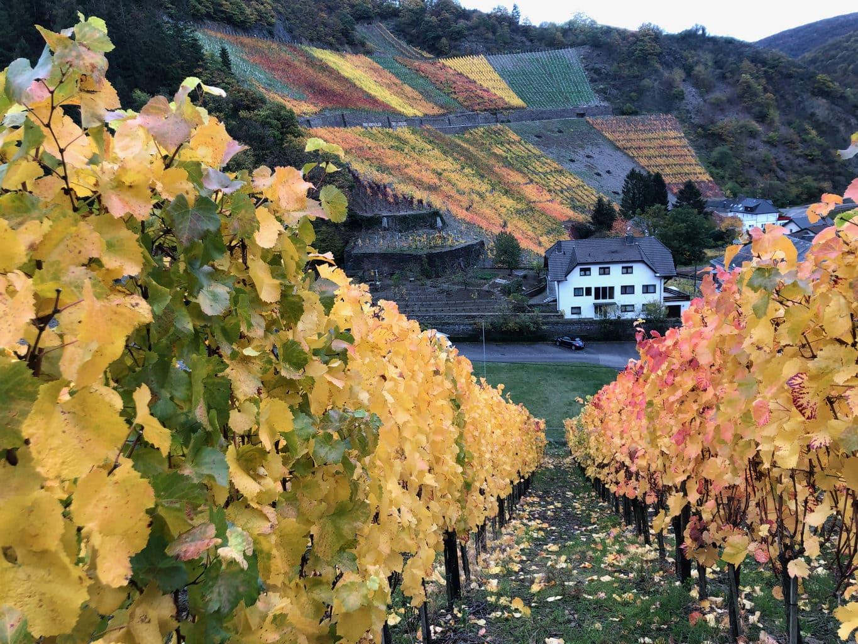Wijnstokken an de steilhangen van het Ahrdal