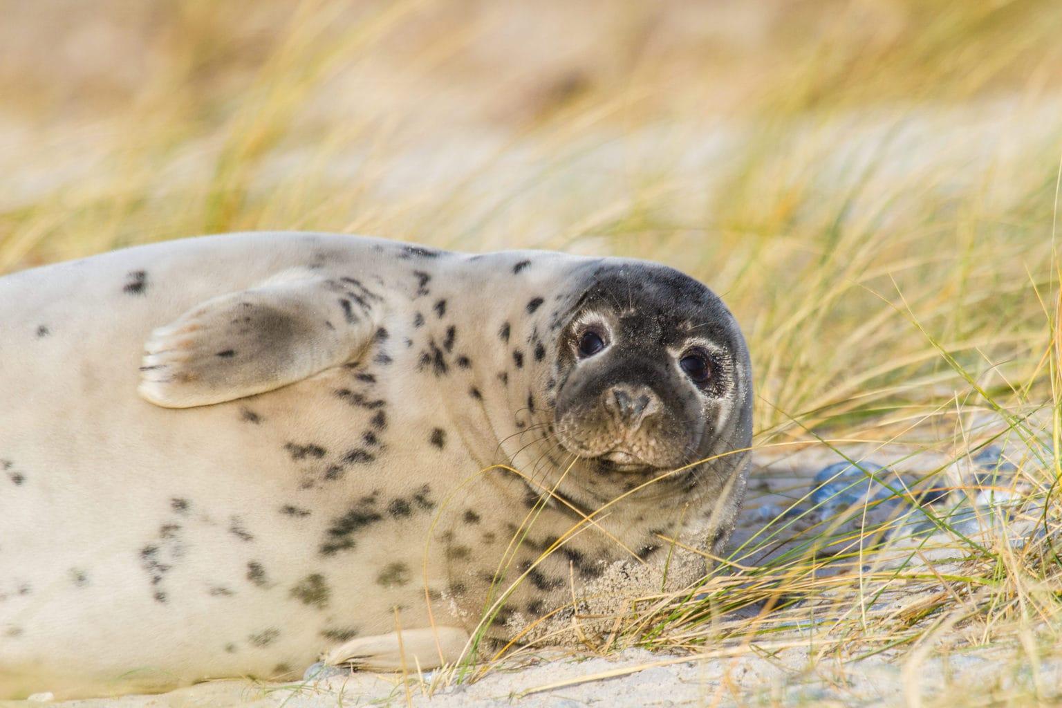 Een zeehond op het strand van Helgoland in Duitsland