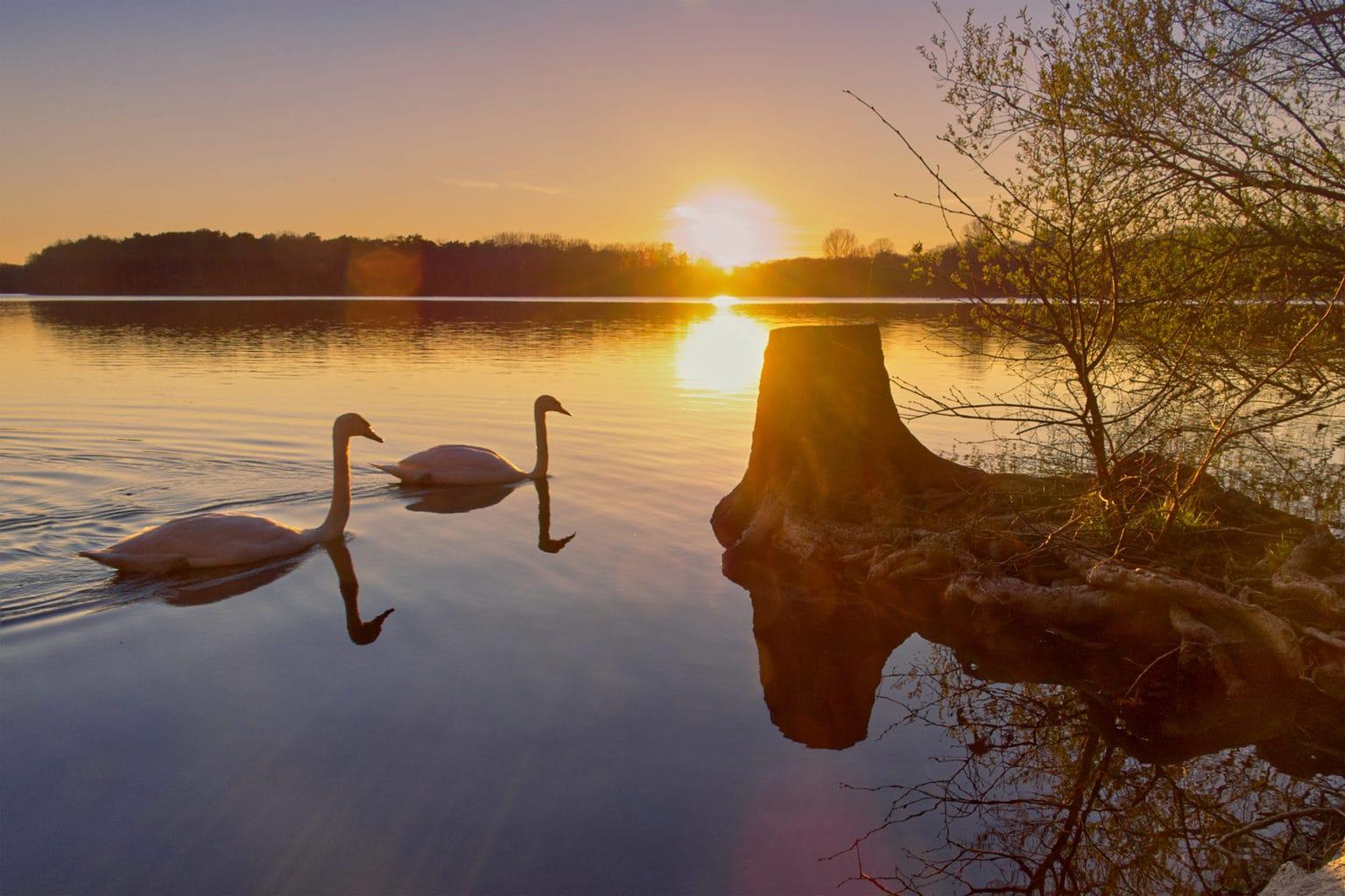 Twee zwanen op de Sechs-Seen-Platte in Duisburg tijdens de zonsondergang
