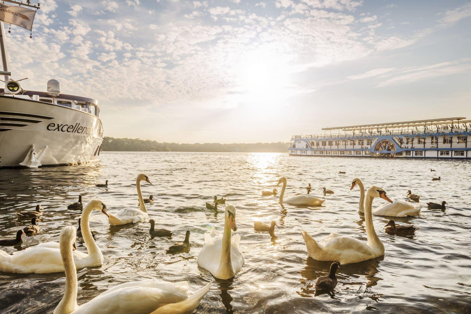 Zwanen aan de oevers van de Tegeler See in Berlijn