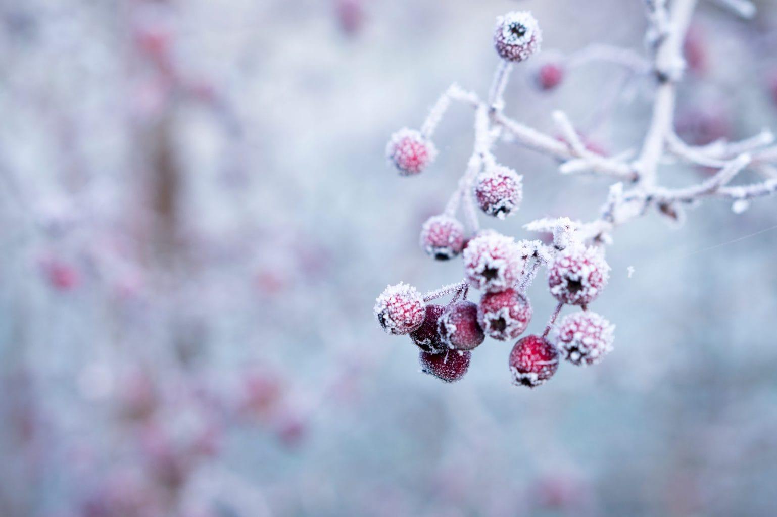 Bevroren bessen ergens in de Zuid-Duitse winter