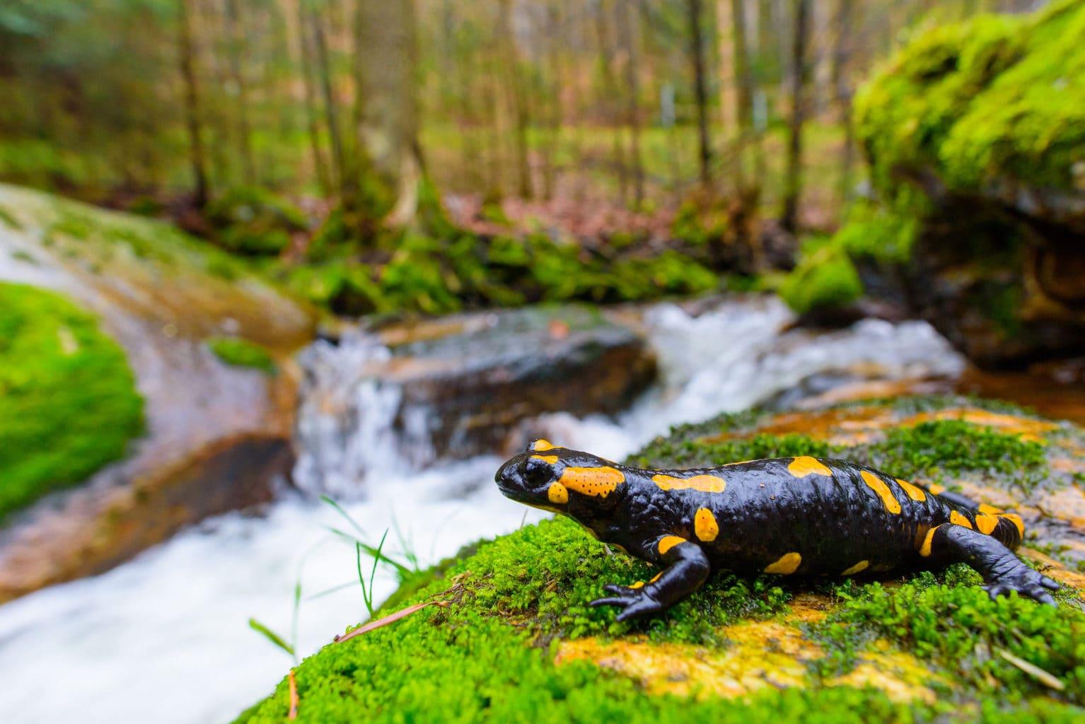 Een salamander op het mos kijkt naar een beekje in her Beierse Woud