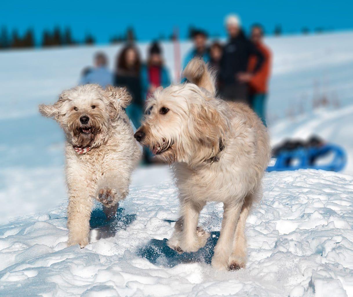 Honden spelen in de sneeuw in Duitsland