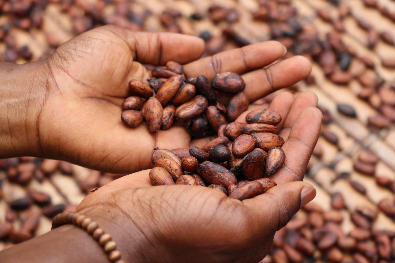 Onbehandelde cacaobonen voor de productie van veganistische chocola uit Duitsland