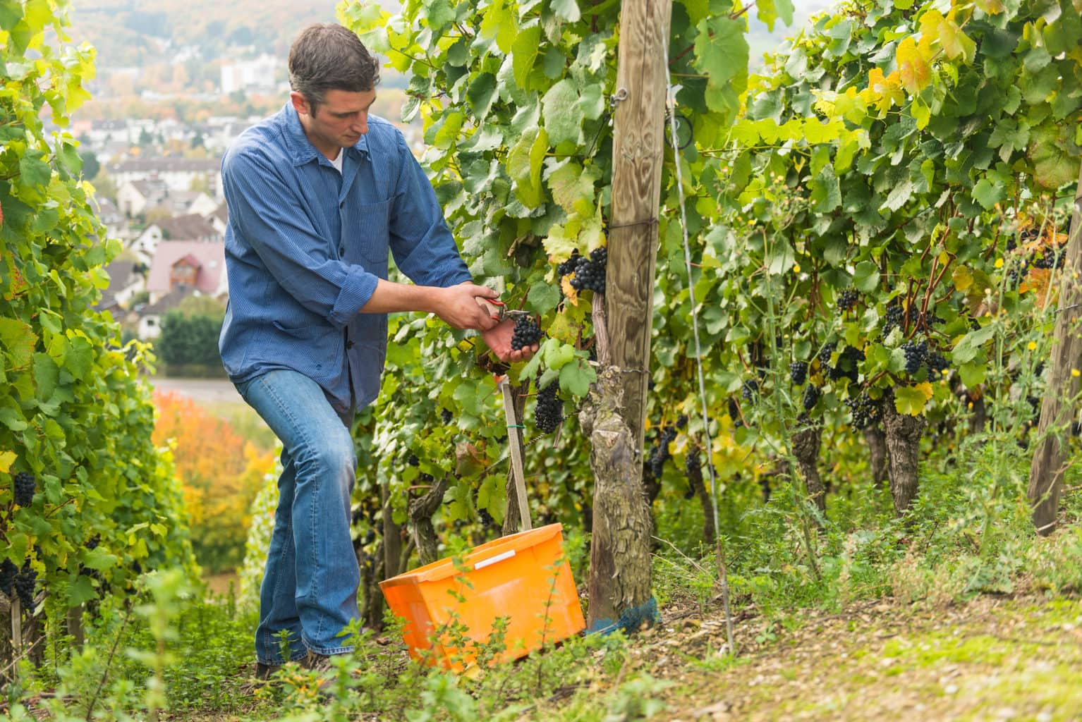 Een man tijdens de wijnoogst in het vallei van de Ahr in Rijnland-Palts in Duitsland in de herfst