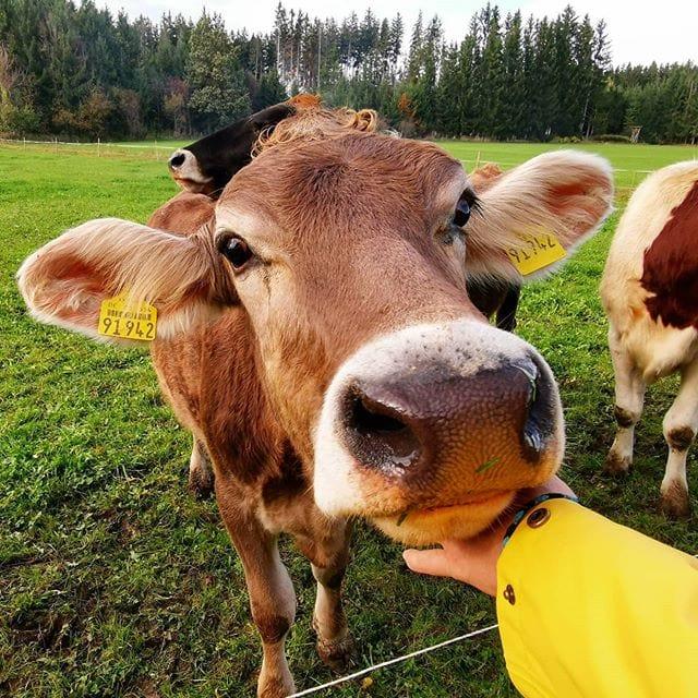 Heb je ooit van 'Kuhkuscheln' (koeienknuffelen) gehoord? Het principe: Door het aaien van koeien krijgen de mensen een uitstoot aan gelukshormonen. 🐄🤩 Het werkt ontspannend en zorgt ervoor, dat stress in no-time wordt afgebouwd. 🧘♀️🌿 Waar je dit bijzondere belevenis in de Oost-Allgäu kunt meemaken lees je in het artikel 'Vakantie op het platteland opnieuw ontdekt' (link in de bio)! #koeienknuffelen #kuhkuscheln #ontspannen #antistress #allgäu #schattig #lief #dierenliefde #tierischgut #dierenvriend #dichtbijdenatuur #duitsland #vakantie #platteland #duitslanddichtbij #duitslandvakantieland #opstap #natuurvakantie #natuurbeleven #reisinspiratie #aanrader